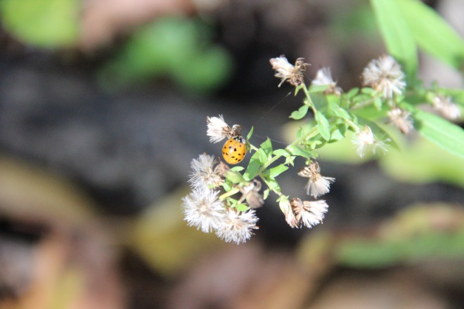 Asian ladybird beetle, October