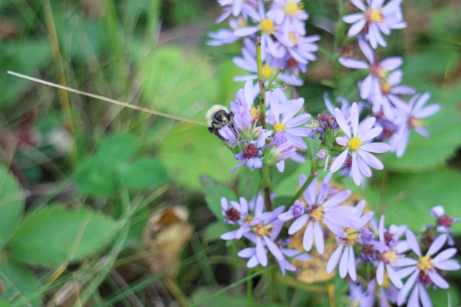 Late bumbler on aster, October