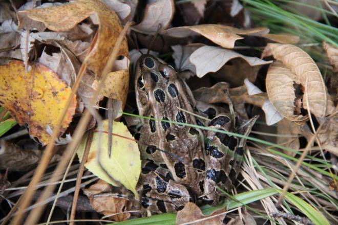 Leopard Frog, October