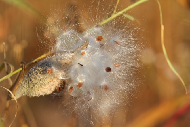 Common milkweed seeds, October