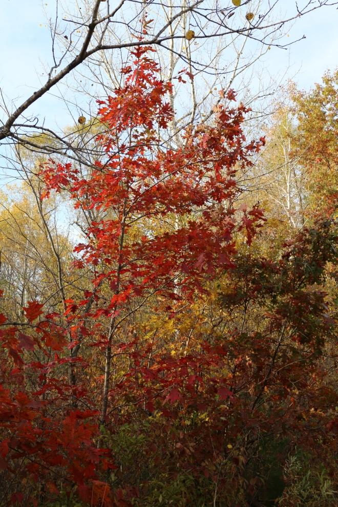 Red oak, October