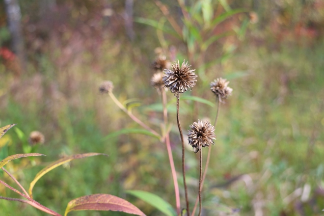 Seedheads, October
