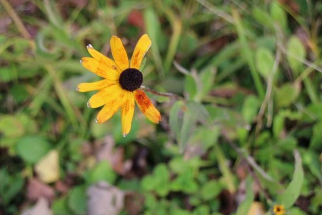 Tattered bloom, October