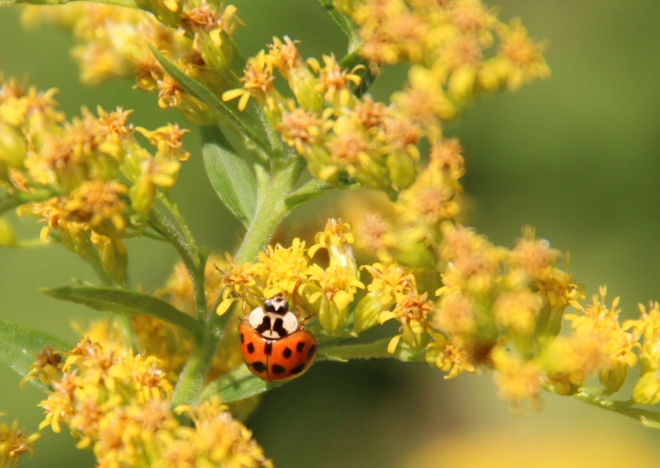 Asian lady beetle on goldenrod.