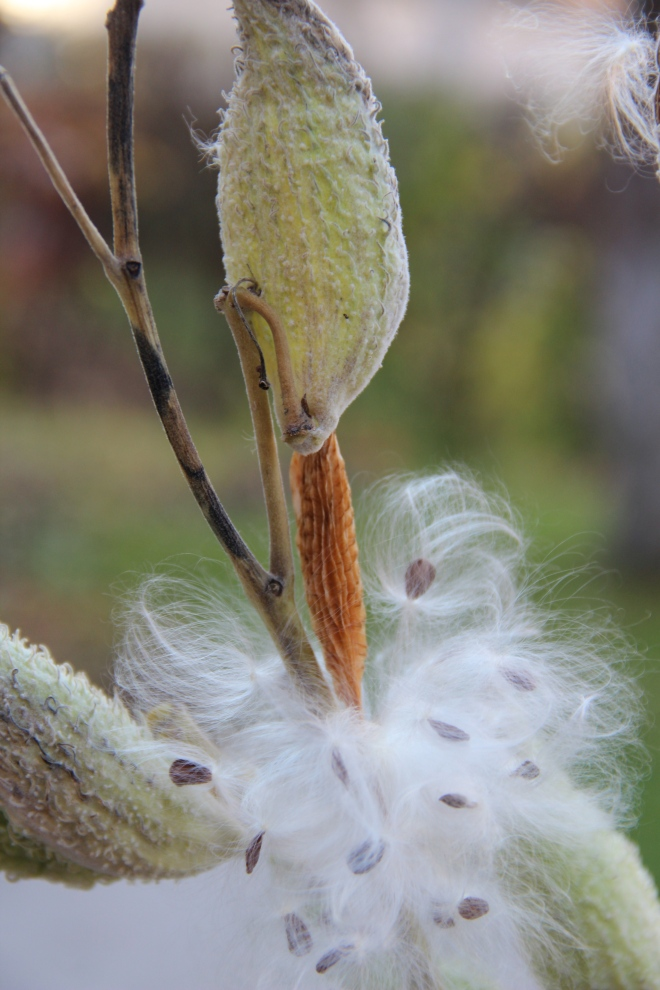 Common milkweed (Aesclepias syriaca) releases it silky seeds.