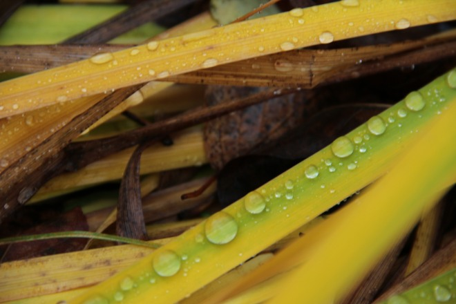 Beads of rain adorn daylily fronds (Hemerocallis).