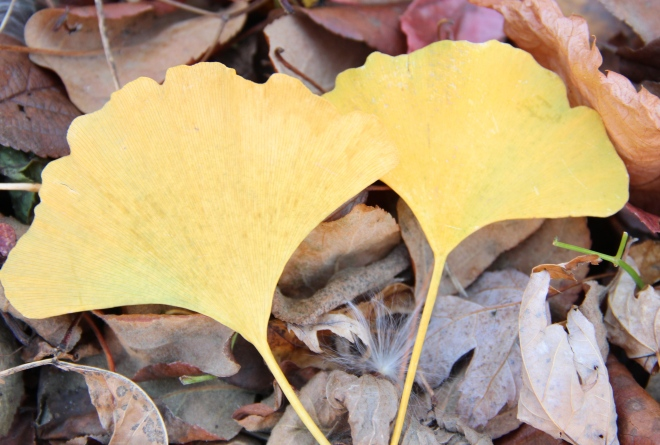 Fan-shaped gingko leaves fell much later than the maple leaves.