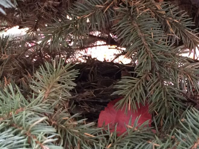 An empty robin's nest and red maple leaf tucked into a dwarf blue spruce.