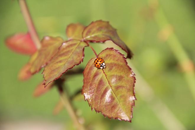 Asian lady beetle on 'Henry Kelsey' rose.