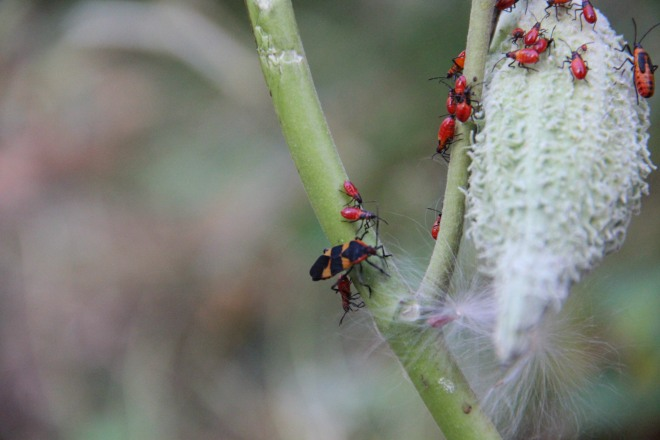 Large milkweed bug in developmental stages.