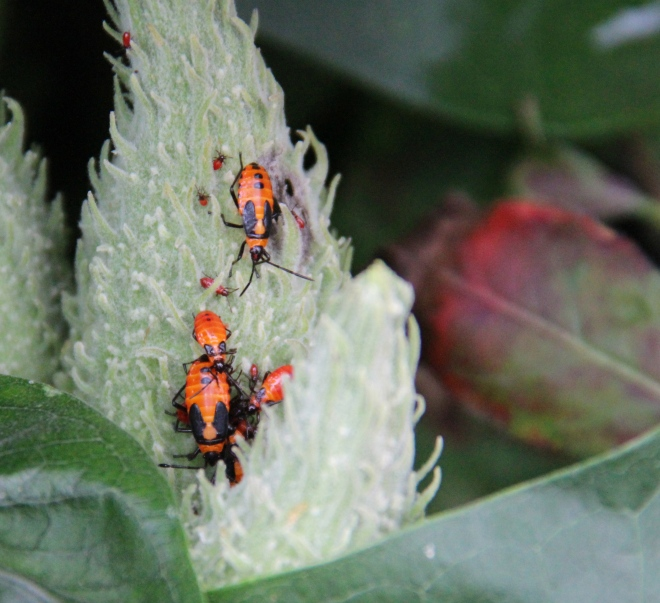 Early instars of Large Milkweed Bug
