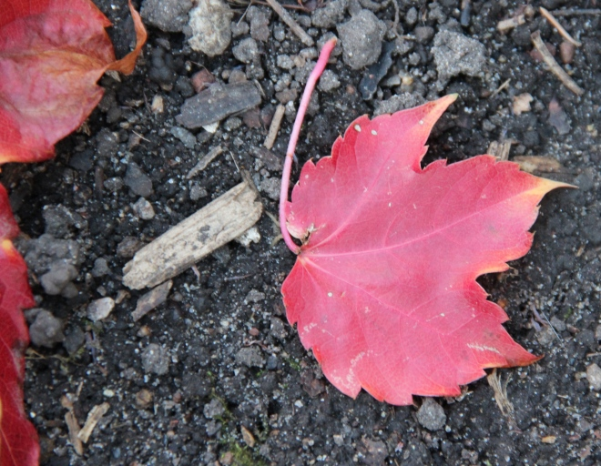 The beauty of a single woodbine leaf in the empty garden.