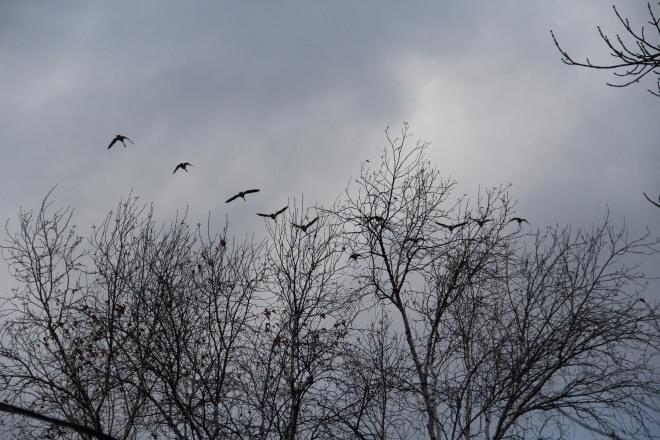 grayskies:geese