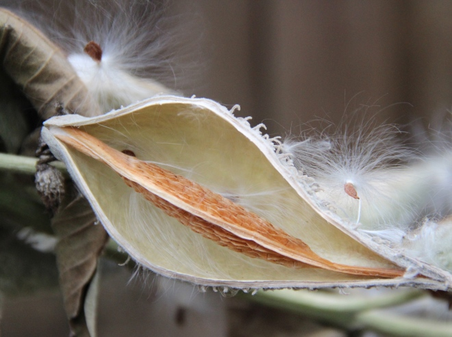 A few seeds still cling to the soft, empty cup of a milkweed pod.