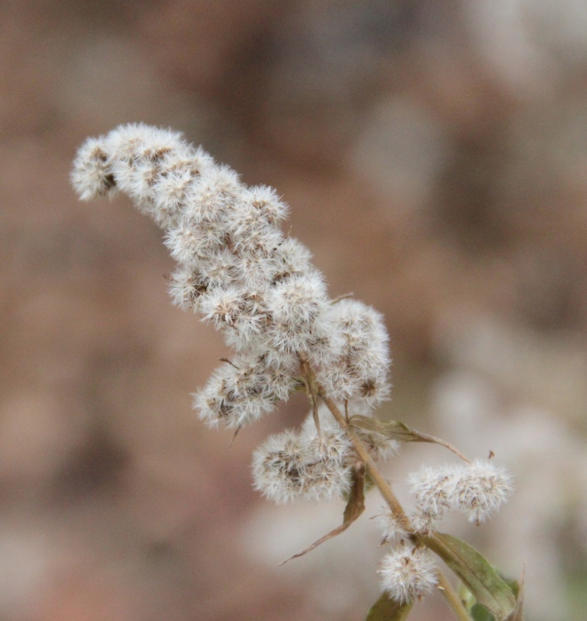 Fluffy goldenrod seeds.