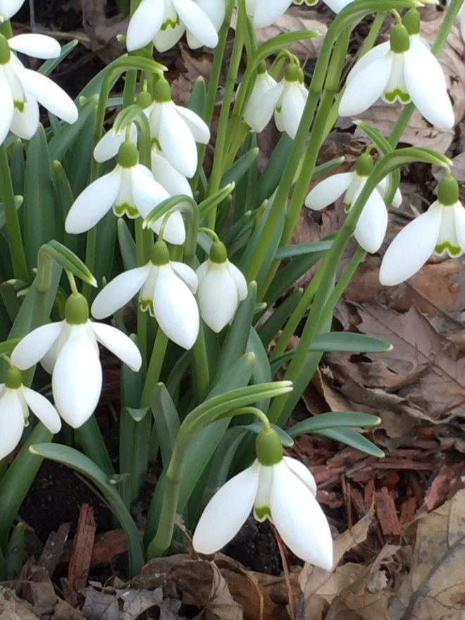 Common snowdrops have three white outer tepals and three smaller inner tepals that are white and green.