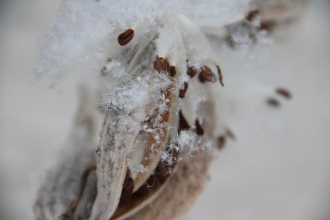 Star-like snow crystals add beauty to common milkweed (Asclepia syriaca) in early March