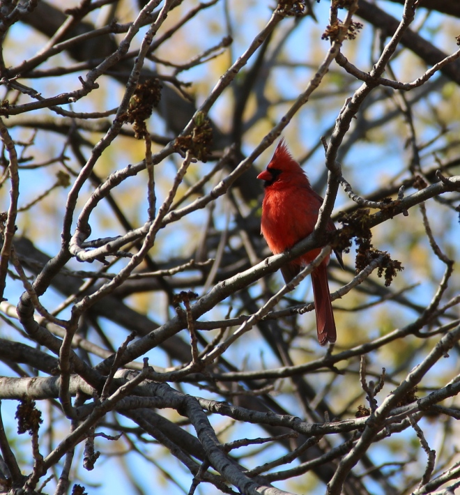 A male northern cardinal (Cardinalis cardinalis) sings from his springtime perch .