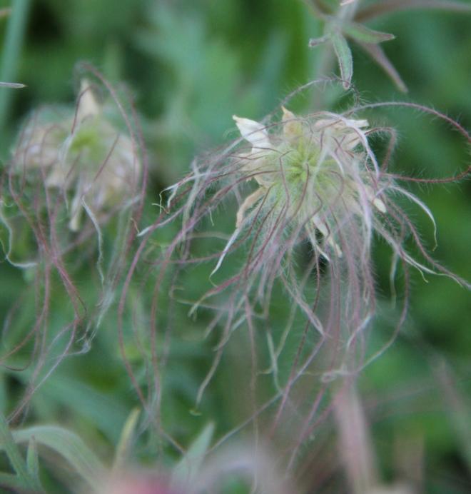 Prairie smoke seed plumes.