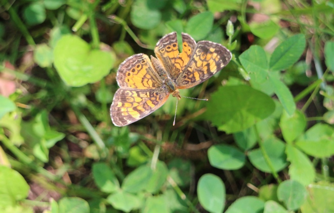 Tattered butterfly wings may indicate a close call with a predator, or advancing old age.