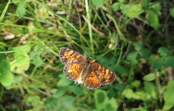 Sun glows on the wings of a crescent butterfly (Phyciodes).