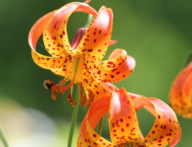 Michigan lily (Lilium michiganense) growing near the Snake River in east central Minnesota.