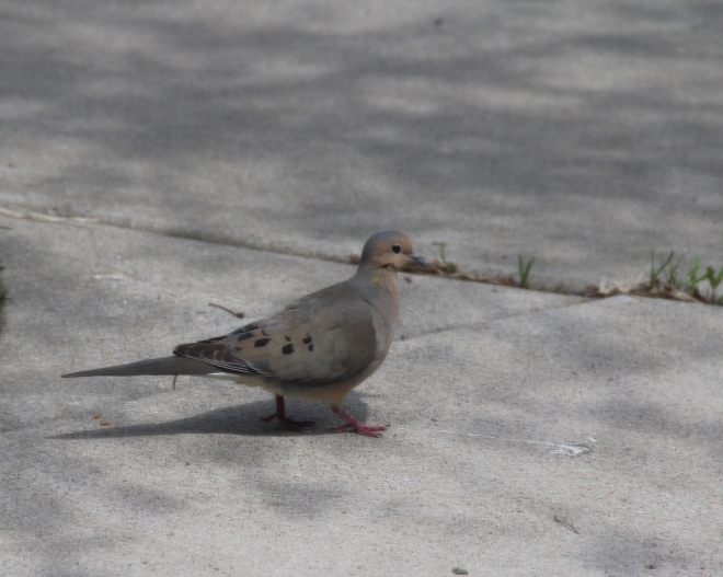 Mourning doves are warm buff to soft gray in color with black speckles on the wings.