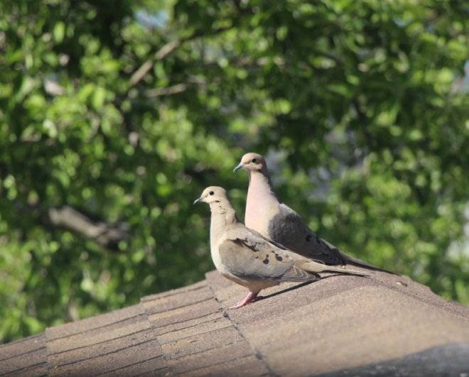 A mated pair of doves rest on the roof in the late afternoon sun.