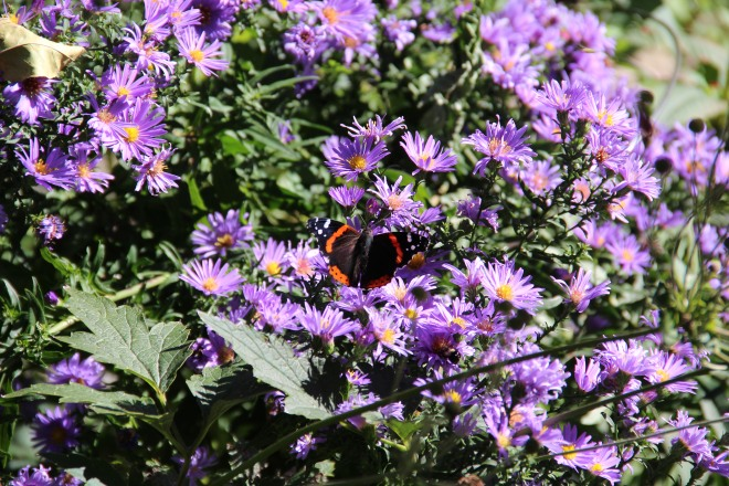 A red admiral (Vanessa atalanta) sips nectar from New England asters (Symphotrichum novae-anglica).
