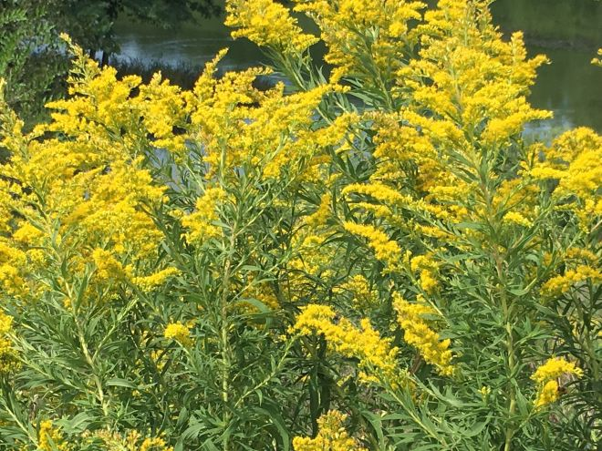 Plumes of Canada goldenrod (Solidago canadensis) surround a pond.