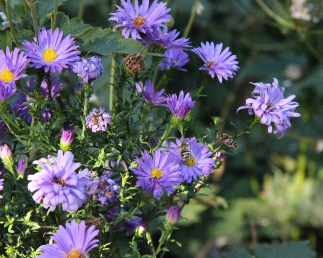 Asters (Symphyotrichum novi-begii) provide nectar to these hoverflies and many other autumn insects.