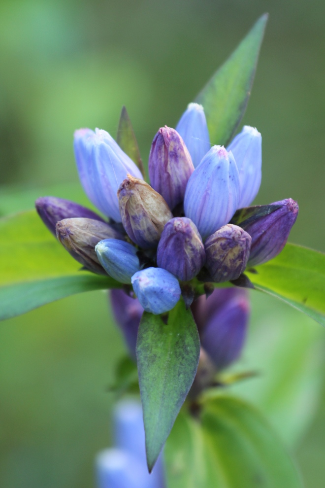 Bottle gentian blooms (Gentiana andrewsii) turn dark and dry out as their seeds mature.