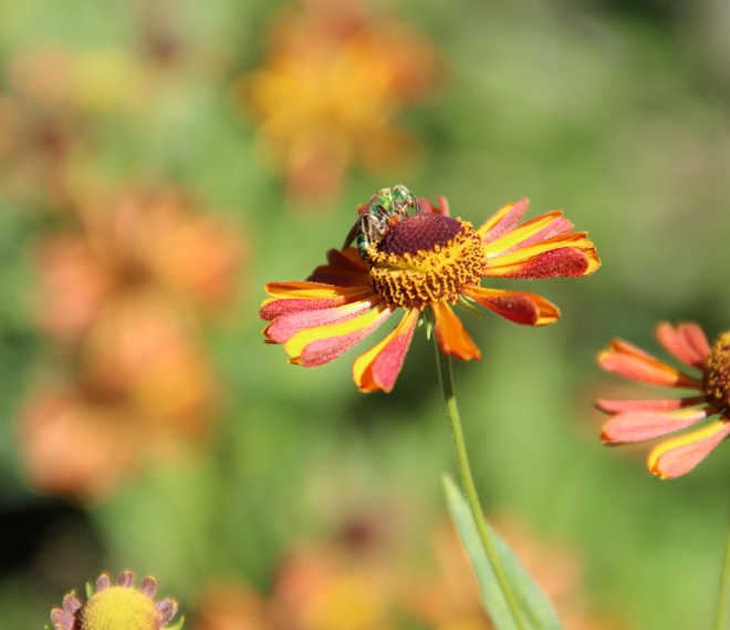 A metallic green bee (agapostemon) drinks nectar from a Helenium flower.