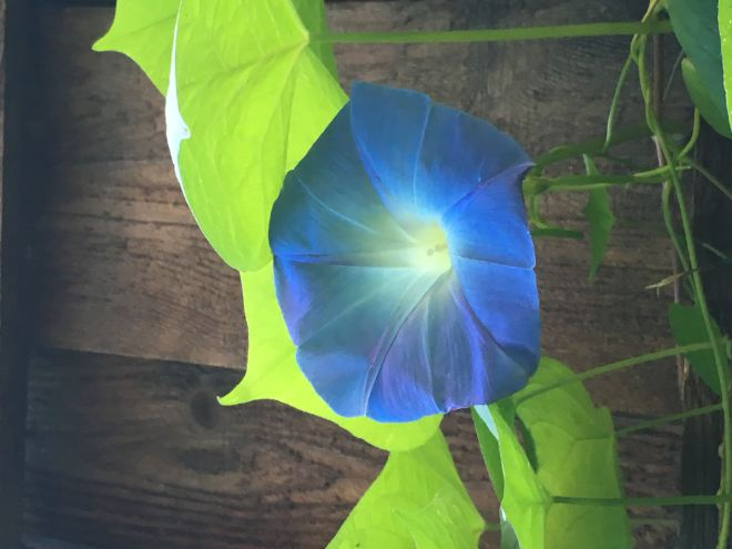 Sky blue morning glories continue to bloom in October.