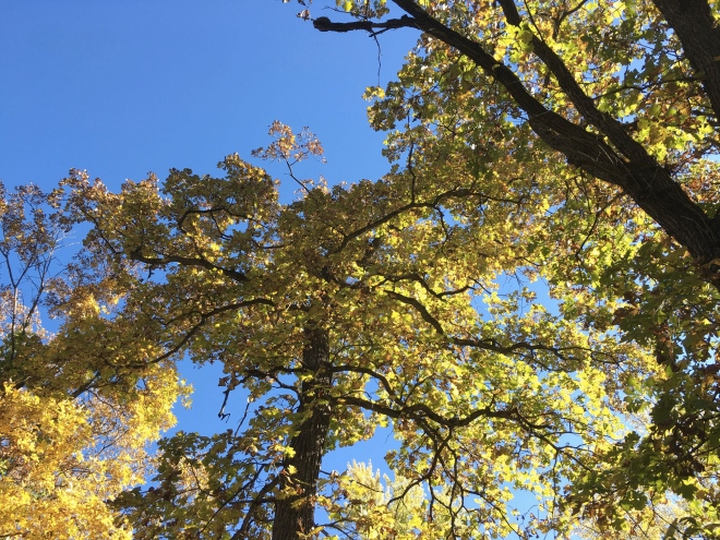 White oaks shine against a cloudless October sky.