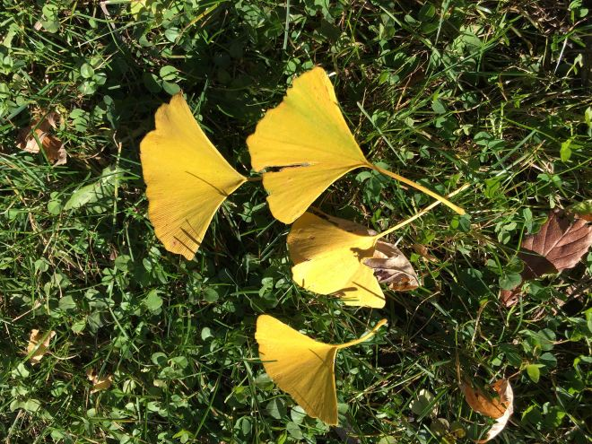 Ginkgo leaves change from bright yellow to deep gold as they age.