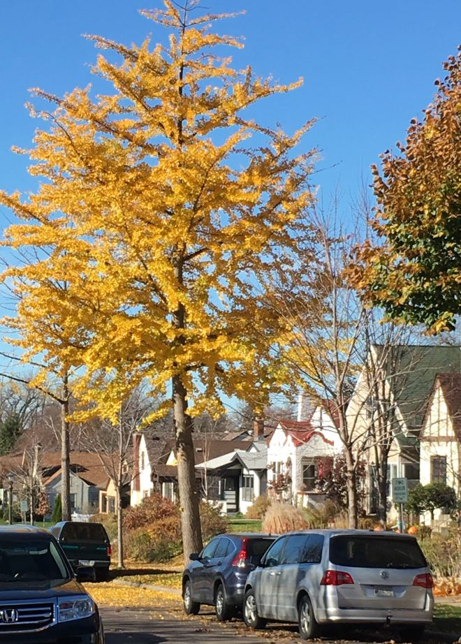 Pollution and disease-resistant ginkgo trees are planted as boulevard trees in St. Paul, MN.