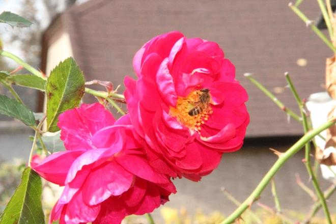 A honey bee visits a 'Henry Kelsey' rose in early November.