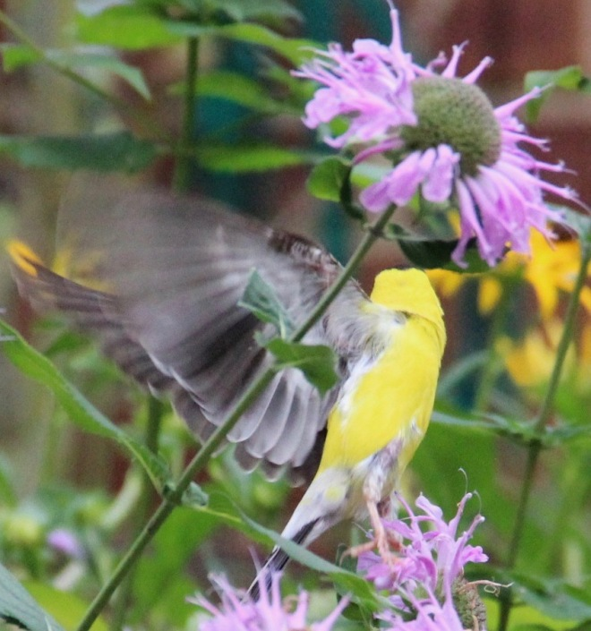An American goldfinch spreads its wings in the bee balm patch.