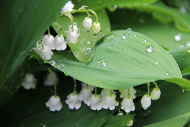Lily of the valley(Convallaria majalis) is native to Northern Europe and Asia.
