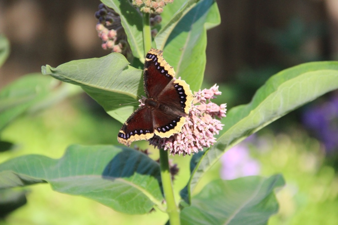 Living things like this mourning cloak and common milkweed, benefit from the hidden actions of fungi and moss under the snow.