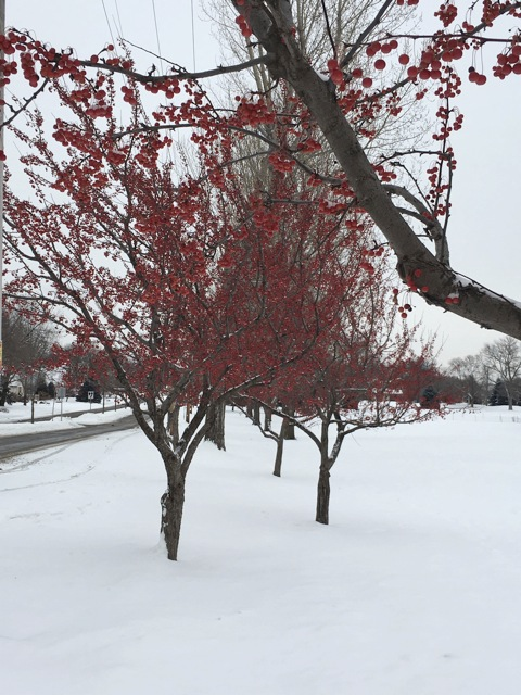 Crabapple trees (Malus) provide food for many birds and add winter color.