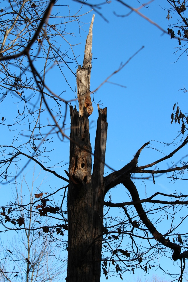 A weathered old northern red oak (still living) has been a home to many birds and other animals.