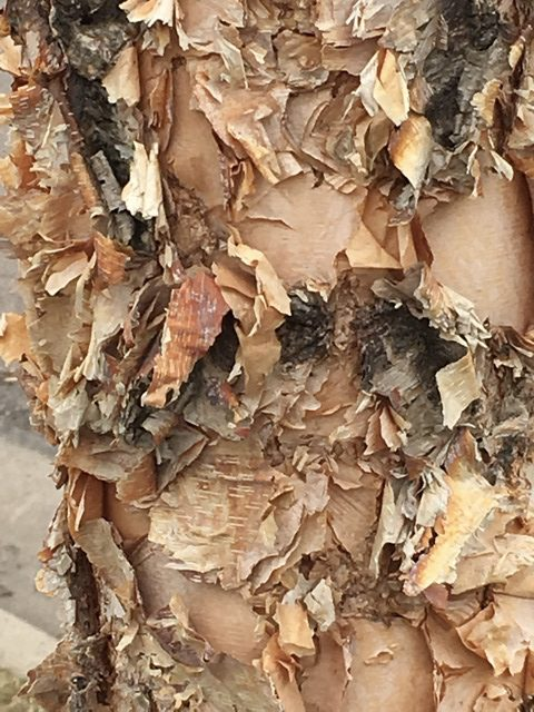 The bark of river birch (Betula nigra) is multicolored and has a shredded texture.