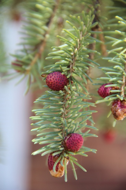 New cones form on a white spruce.