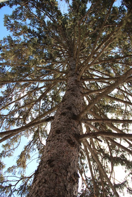 White spruce (Picea glauca) and other evergreens shelter many creatures.