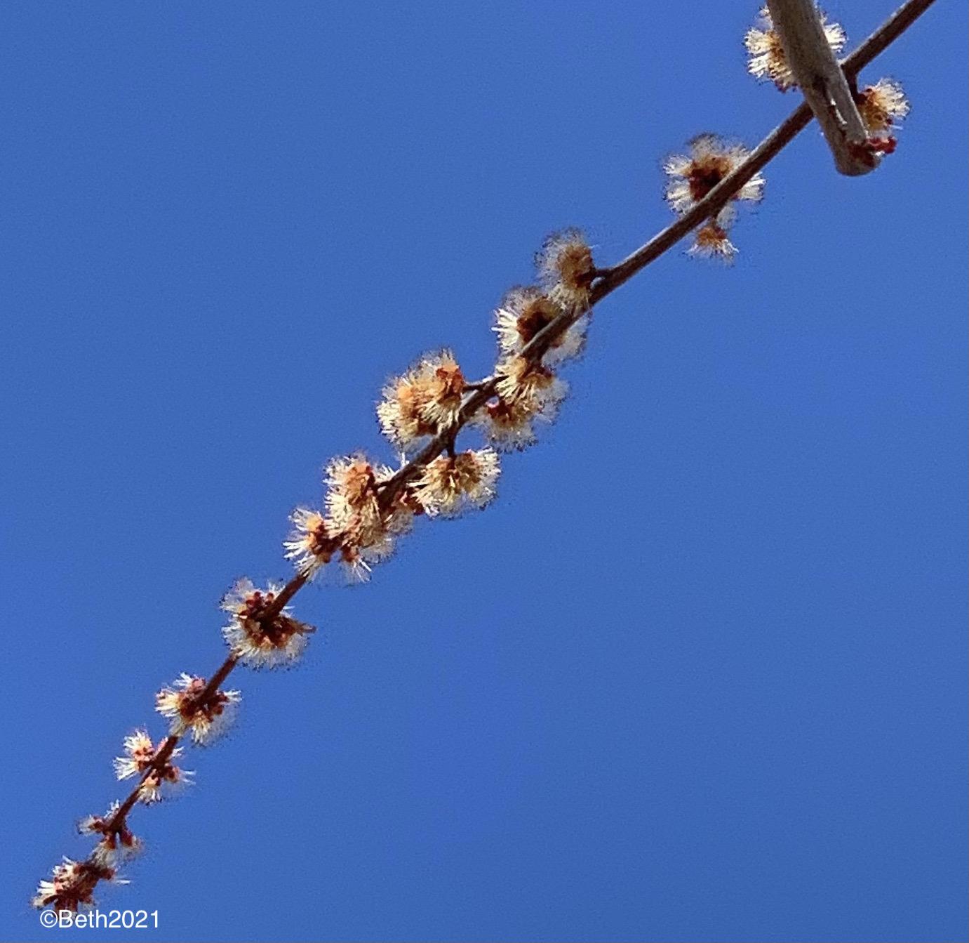 silvermapleflower1